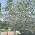 Populus alba Hoja