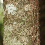 Talisia hexaphylla