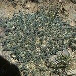 Astragalus siliceus