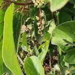 Terminalia prunioides