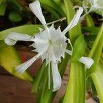 Hymenocallis littoralis Fleur