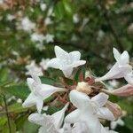 Caprifoliaceae