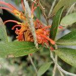 Teucrium heterophyllum