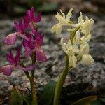x Orchidactyla penzigiana