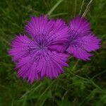 Dianthus geminiflorus