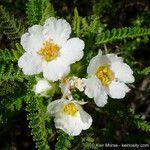 Chamaebatia australis