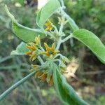 Leptadenia madagascariensis