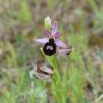 Ophrys magniflora