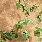 Acalypha crenata 葉