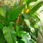 Heliconia bihai Leaf