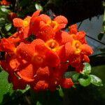 Rondeletia