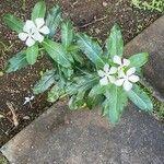 Catharanthus roseus Flower