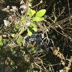 Ozothamnus leptophyllus