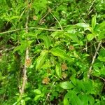 Euonymus verrucosa