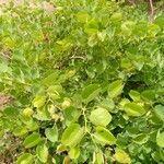 Piliostigma reticulatum 葉