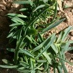 Dianthus cintranus
