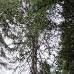 Picea morrisonicola