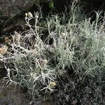 Achyrocline ramosissima