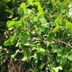 Coccoloba uvifera List