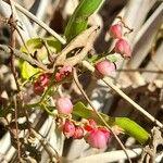 Muehlenbeckia sagittifolia