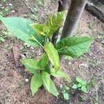 Atropa belladonna Hoja