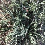 Drimia undulata