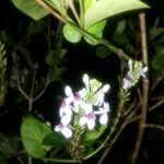 Pseuderanthemum carruthersii 花