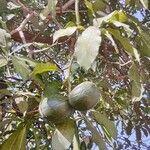 Tabernaemontana stapfiana Fruit