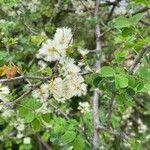 Acacia mellifera 花