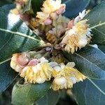 Laurus nobilis Fleur