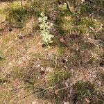 Agrostis curtisii