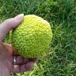 Maclura pomifera Gyümölcs
