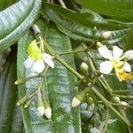 Tetrazygia bicolor