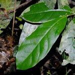 Stephanopodium costaricense