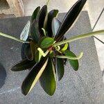Peperomia variifolia