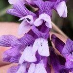Vicia dasycarpa