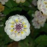 Phyla nodiflora