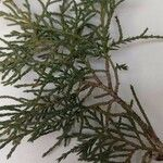 Juniperus virginiana Leaf