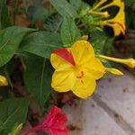 Mirabilis jalapa Kwiat