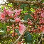 Syzygium aqueum