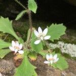 Micranthes clusii