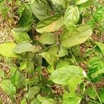 Maesa novocaledonica 葉