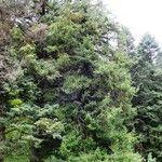 Picea purpurea