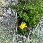 Tulipa sylvestris Kvet