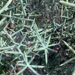 Asparagus aphyllus