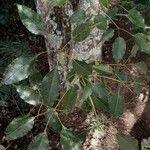 Handroanthus heptaphyllus