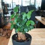 Ficus microcarpa Leaf