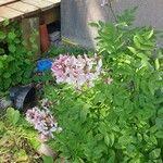 Dictamnus albus Fleur