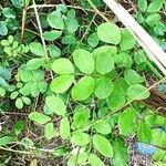 Mimosa ceratonia