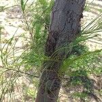 Casuarina equisetifolia Hoja